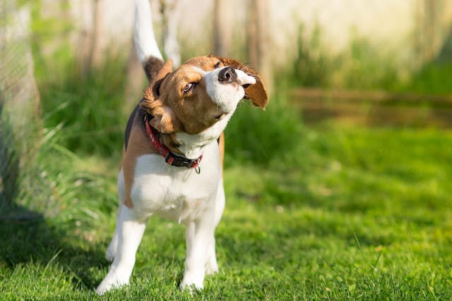 Why is my dog shaking when breathing inward?