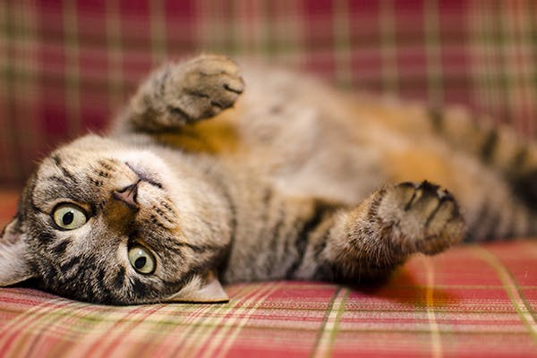 Abdominal Bleeding In Cats Symptoms Causes Diagnosis