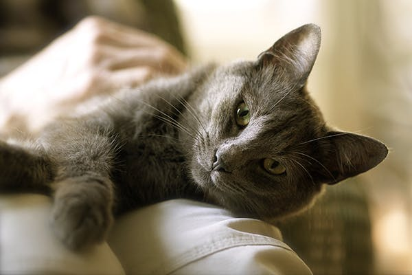 Acute Collapse in Cats