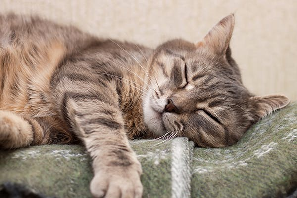 Acute Liver Failure in Cats - Symptoms, Causes, Diagnosis, Treatment, Recovery, Management, Cost