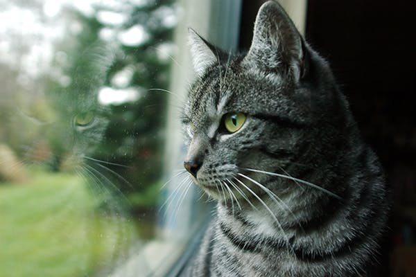 Acute Pancreatitis in Cats - Symptoms, Causes, Diagnosis, Treatment, Recovery, Management, Cost