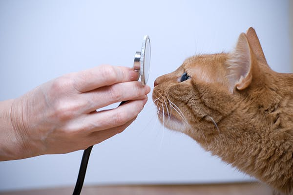 Addison's Disease in Cats