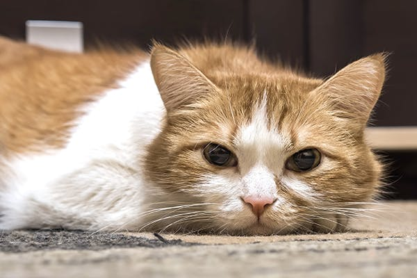 Adenocarcinoma in Cats - Symptoms, Causes, Diagnosis, Treatment, Recovery, Management, Cost