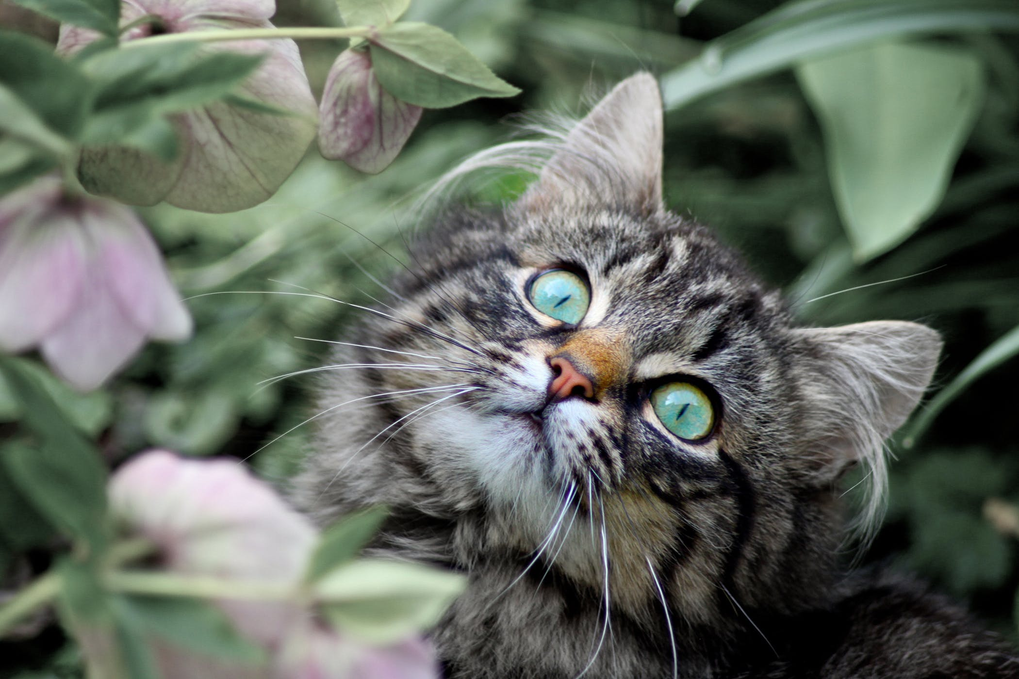 Adverse Reaction to Rabies Vaccine in Cats - Symptoms