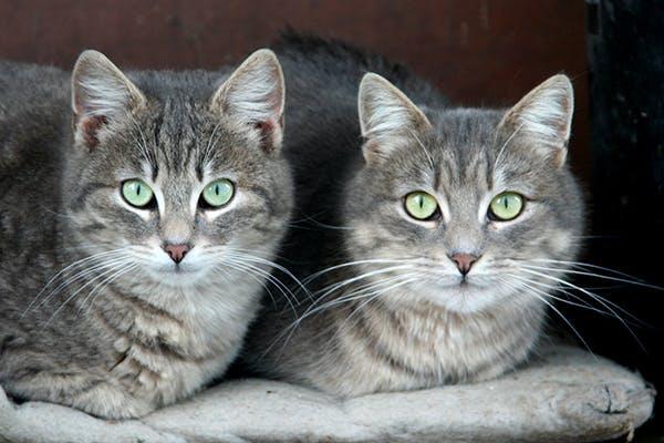 Allergic Dermatitis in Cats