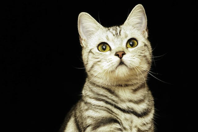 Allergic Shock in Cats - Symptoms, Causes, Diagnosis, Treatment, Recovery, Management, Cost