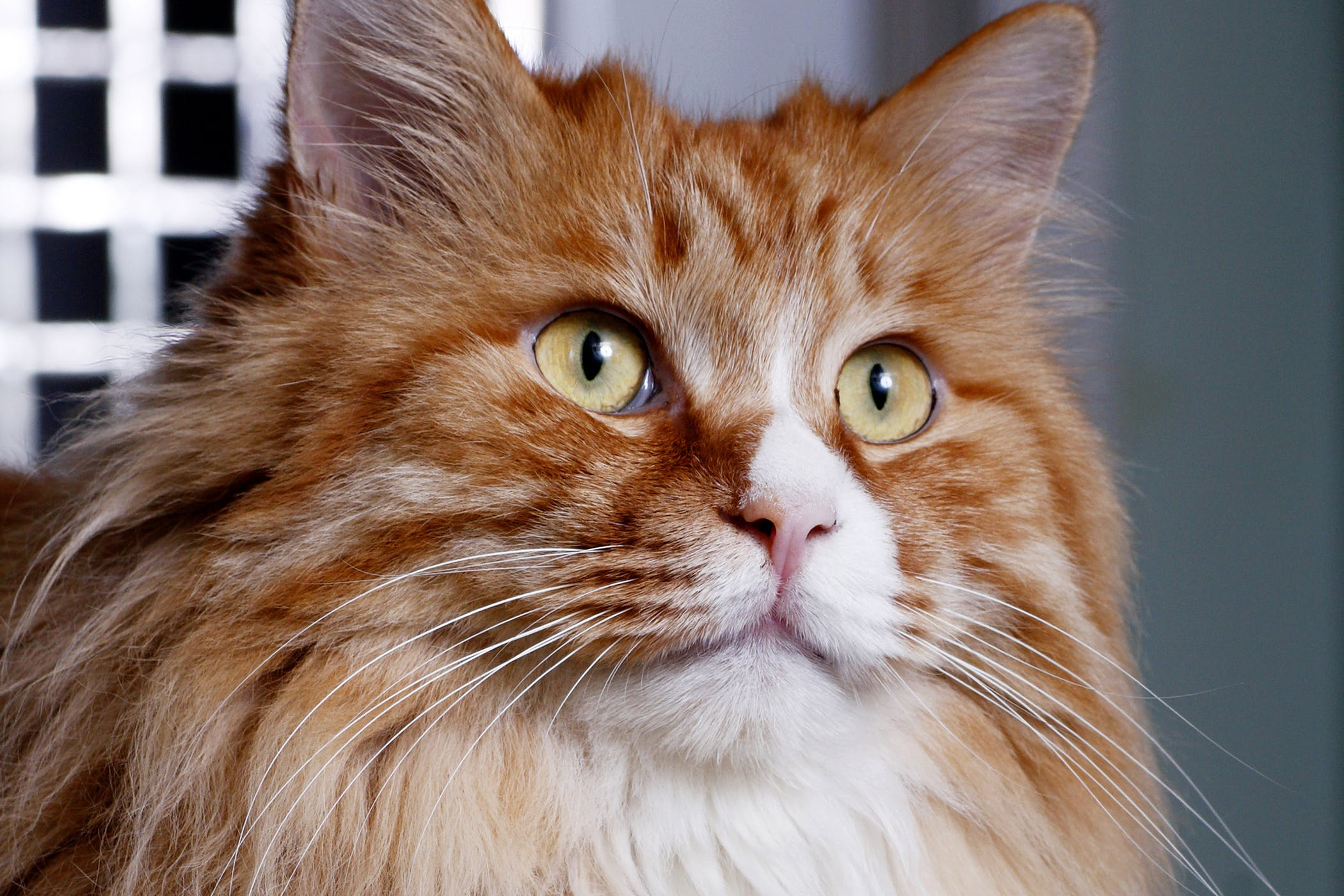 Angioedema Due to Allergies in Cats