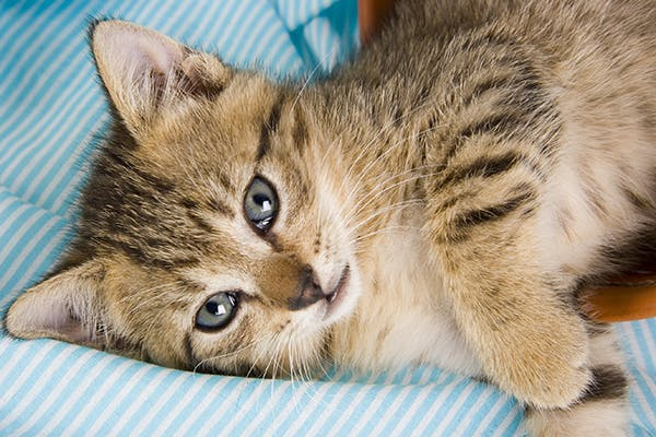 Angular Limb Deformities in Cats - Symptoms, Causes, Diagnosis, Treatment, Recovery, Management, Cost