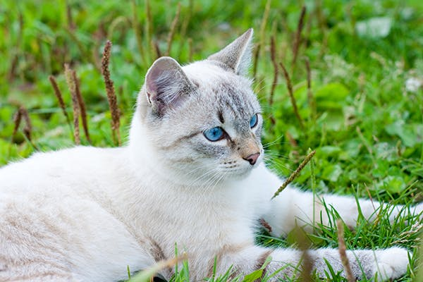 Anthrax in Cats