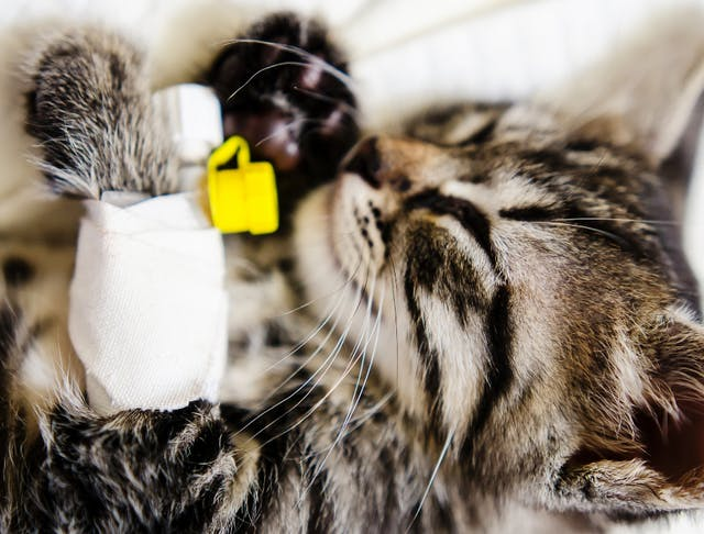 Anticoagulant Therapy in Cats - Conditions Treated, Procedure, Efficacy, Recovery, Cost, Considerations, Prevention