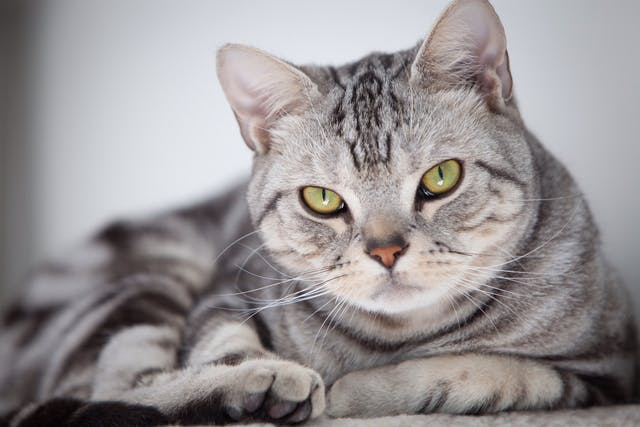 Antiulcer Therapy in Cats - Conditions Treated, Procedure, Efficacy, Recovery, Cost, Considerations, Prevention