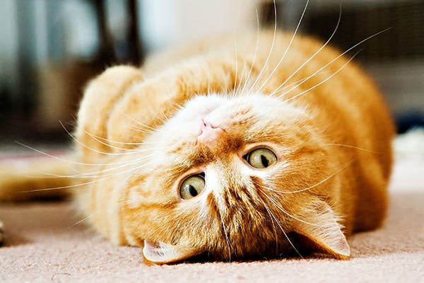 Aortic Thromboembolism in Cats - Symptoms, Causes, Diagnosis, Treatment, Recovery, Management, Cost
