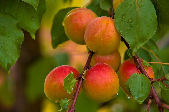 Apricot Poisoning in Cats - Symptoms, Causes, Diagnosis, Treatment, Recovery, Management, Cost