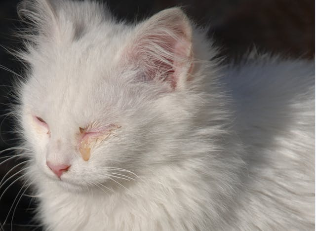 Aqueocentesis in Cats - Conditions Treated, Procedure, Efficacy, Recovery, Cost, Considerations, Prevention