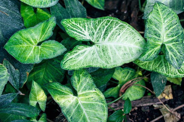 Arrowhead Vine Poisoning in Cats - Symptoms, Causes, Diagnosis, Treatment, Recovery, Management, Cost