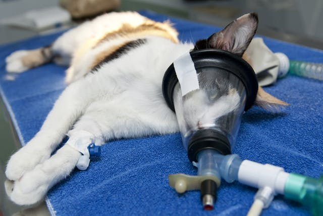 Arthrocentesis in Cats - Conditions Treated, Procedure, Efficacy, Recovery, Cost, Considerations, Prevention