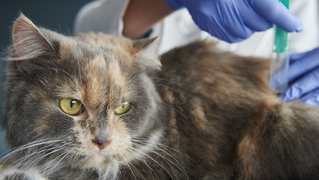 Arthrodesis in Cats - Conditions Treated, Procedure, Efficacy, Recovery, Cost, Considerations, Prevention