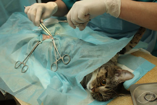 Arthroscopic Surgery in Cats - Conditions Treated, Procedure, Efficacy, Recovery, Cost, Considerations, Prevention