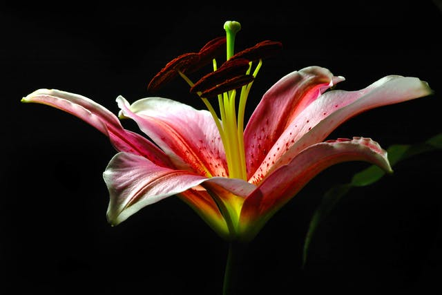 Asian Lily Poisoning in Cats - Symptoms, Causes, Diagnosis, Treatment, Recovery, Management, Cost