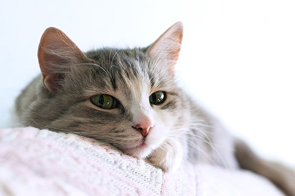 Aspergillosis in Cats - Symptoms, Causes, Diagnosis, Treatment, Recovery, Management, Cost