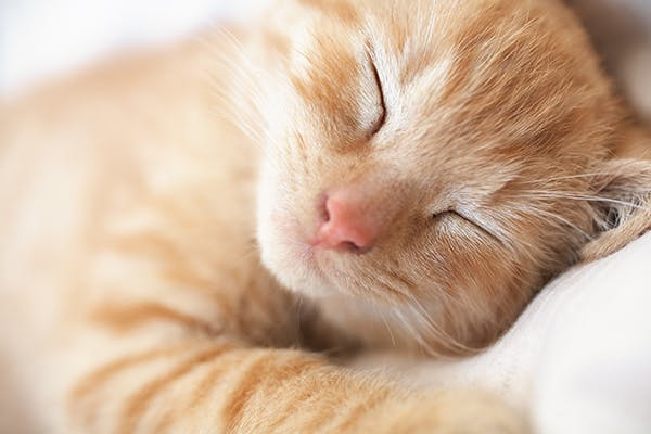 Atopy in Cats