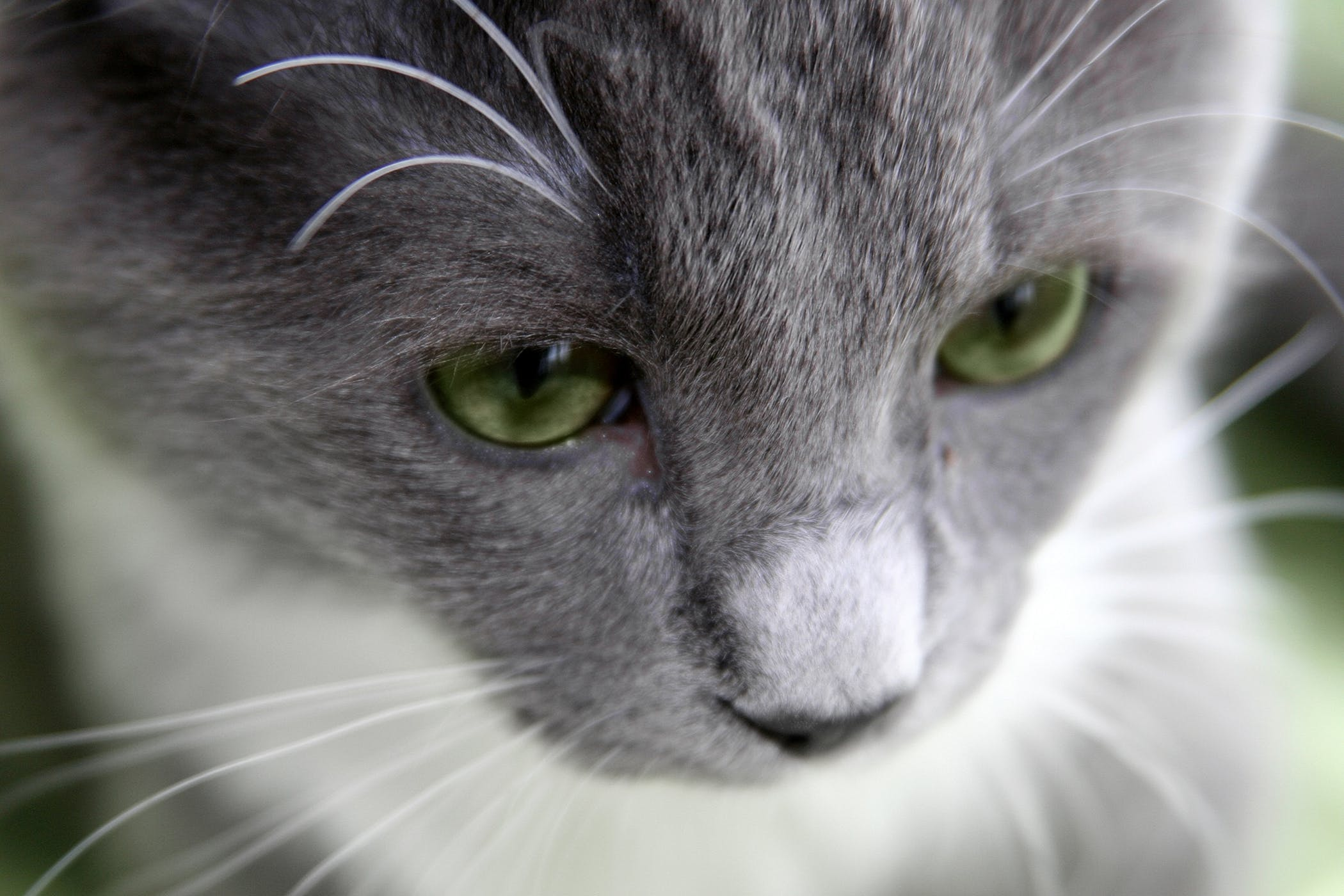 Atrial Septal Defect in Cats