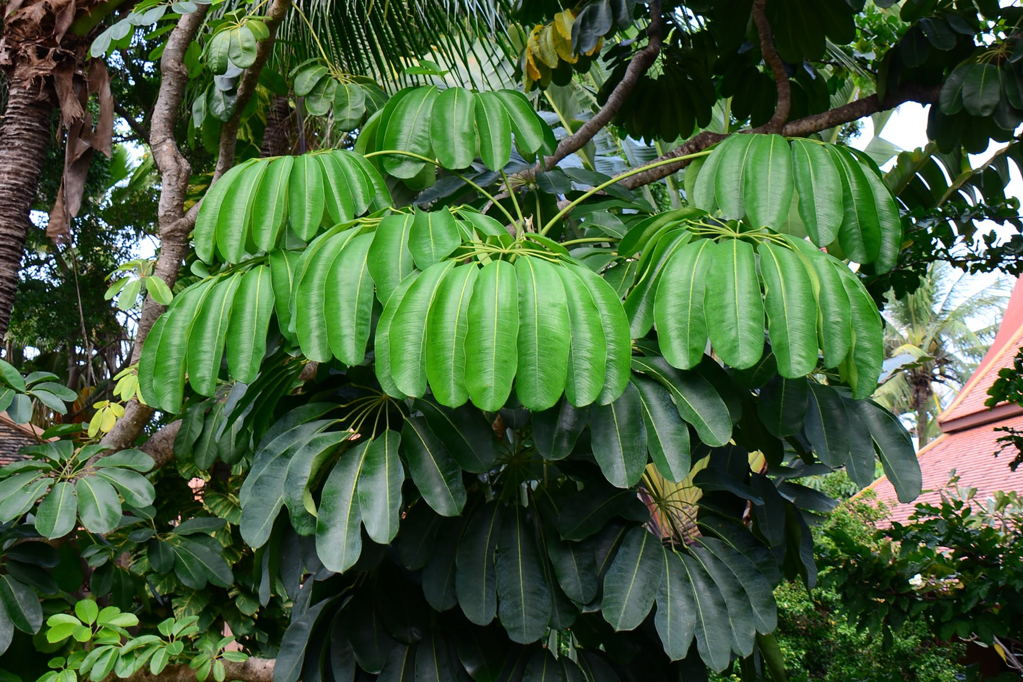Australian Ivy Palm Poisoning in Cats