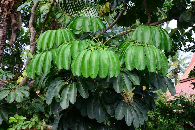 Australian Ivy Palm Poisoning in Cats - Symptoms, Causes, Diagnosis, Treatment, Recovery, Management, Cost