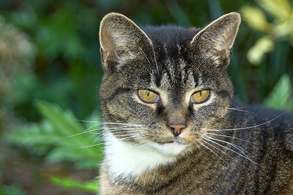 Autoimmune Skin Disease in Cats