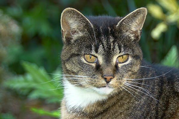 Autoimmune Skin Disease in Cats - Symptoms, Causes, Diagnosis, Treatment, Recovery, Management, Cost