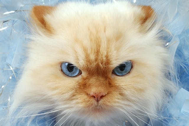 Babesiosis in Cats - Symptoms, Causes, Diagnosis, Treatment, Recovery, Management, Cost