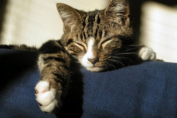 Bacterial Bronchopneumonia in Cats - Symptoms, Causes, Diagnosis, Treatment, Recovery, Management, Cost