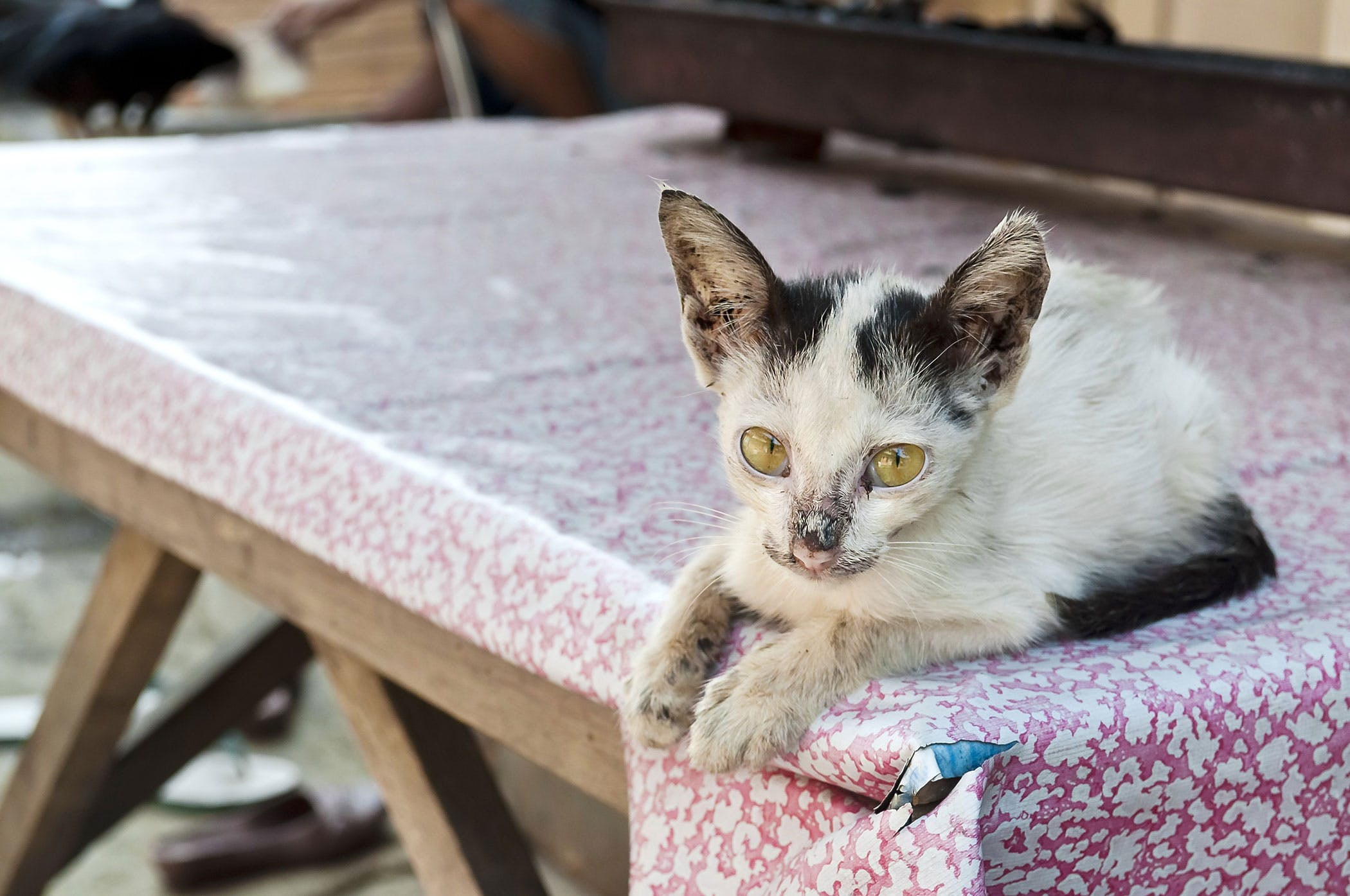 Bacterial Infection in Cats - Symptoms, Causes, Diagnosis