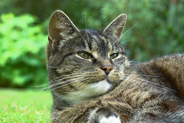 Bacterial Pneumonia in Cats