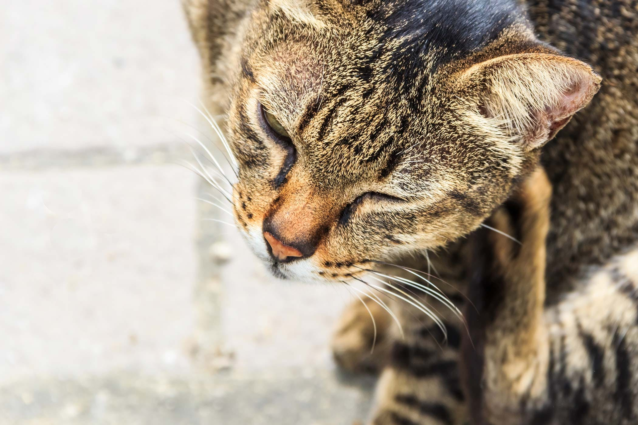 Bacterial Skin Infection in Cats - Symptoms, Causes