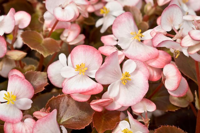 Begonia Poisoning in Cats - Symptoms, Causes, Diagnosis, Treatment, Recovery, Management, Cost