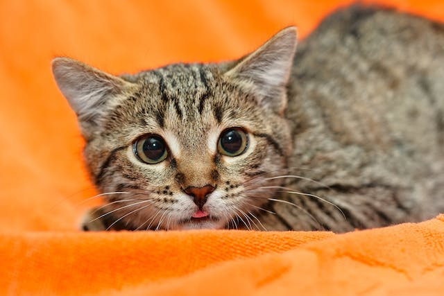Bilateral Arytenoid Lateralization in Cats - Conditions Treated, Procedure, Efficacy, Recovery, Cost, Considerations, Prevention
