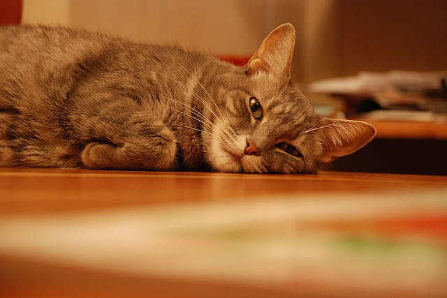 Bile Duct Obstruction in Cats - Symptoms, Causes, Diagnosis, Treatment, Recovery, Management, Cost