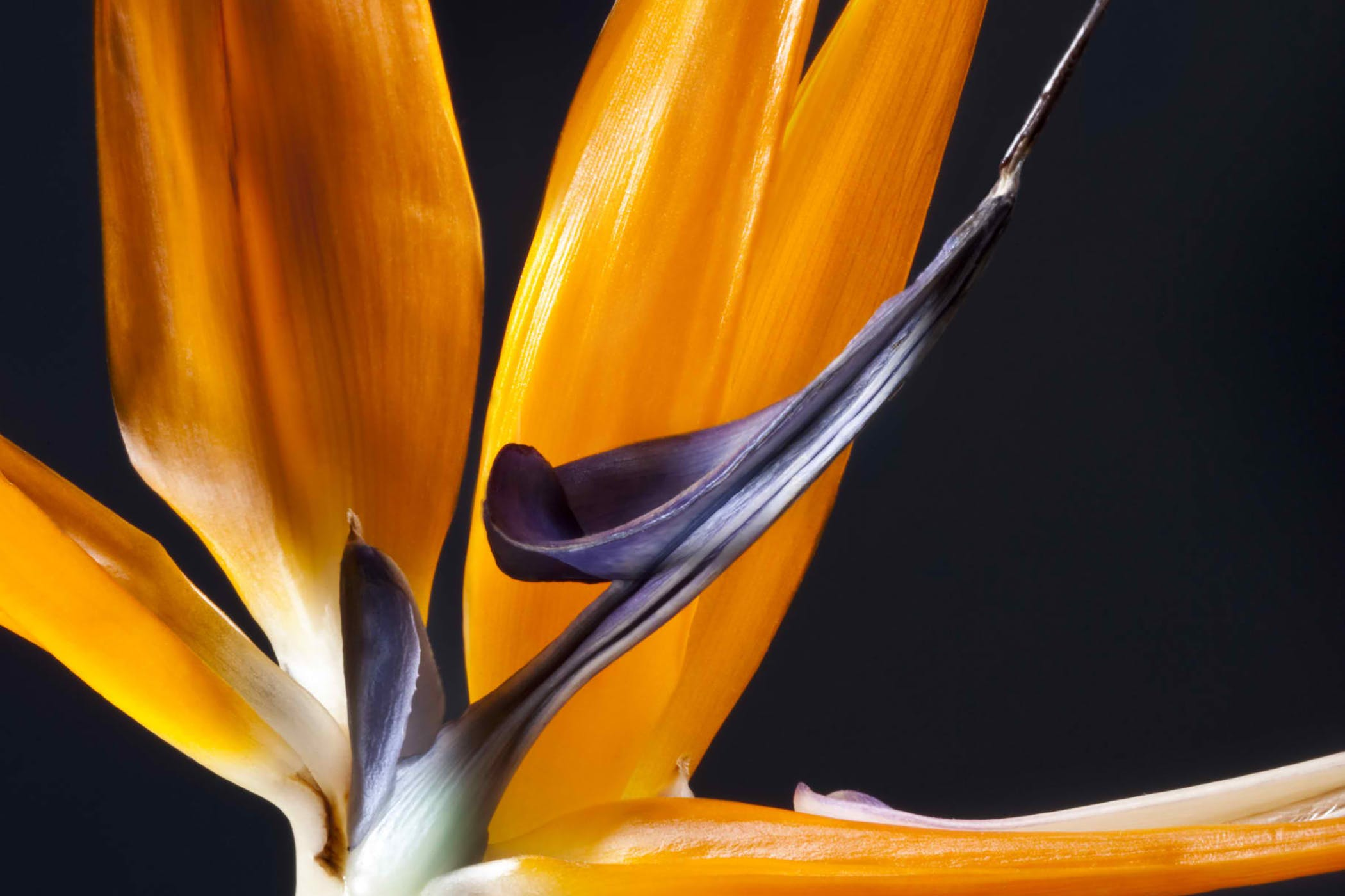 Bird's Tongue Flower Poisoning in Cats