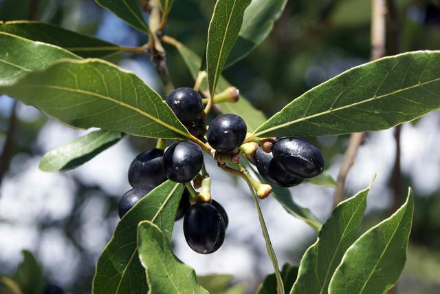 Black Laurel Poisoning in Cats - Symptoms, Causes, Diagnosis, Treatment, Recovery, Management, Cost