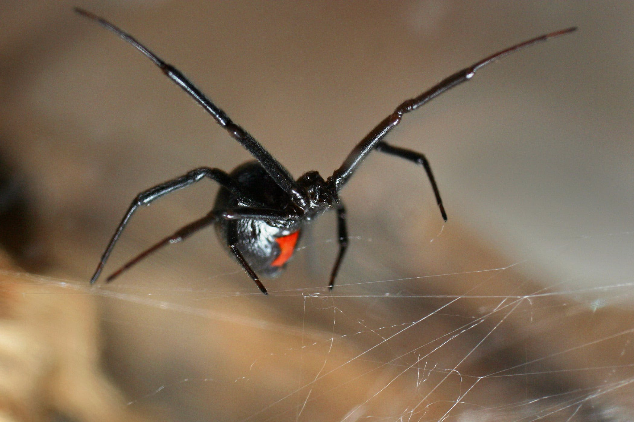 Black Widow Spider Bite Poisoning In Cats Symptoms Causes Diagnosis Treatment Recovery Management Cost