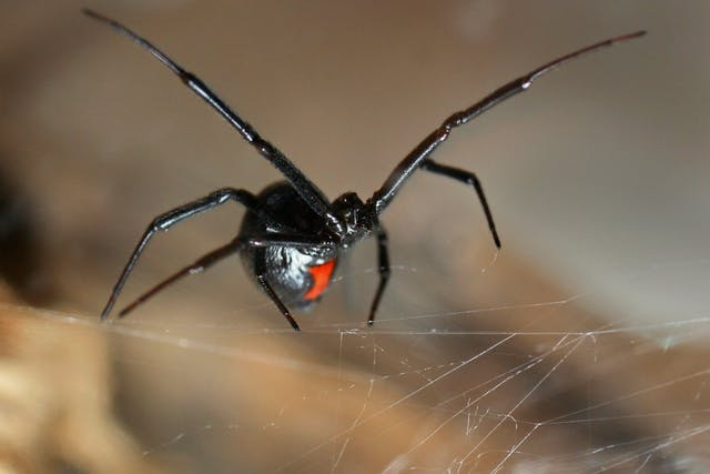 Black Widow Spider Bite Poisoning in Cats - Symptoms, Causes, Diagnosis, Treatment, Recovery, Management, Cost