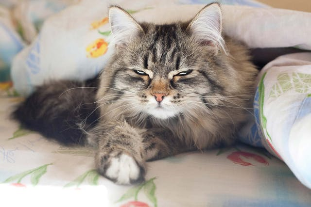 Bleeding Disorders in Cats - Symptoms, Causes, Diagnosis, Treatment, Recovery, Management, Cost