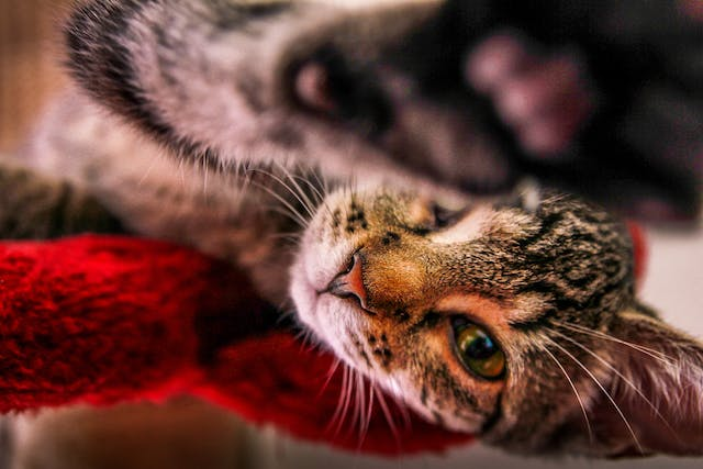 Bloating in Cats - Symptoms, Causes, Diagnosis, Treatment, Recovery, Management, Cost