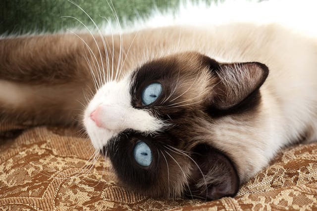 Blood Clot in the Lungs in Cats - Symptoms, Causes, Diagnosis, Treatment, Recovery, Management, Cost