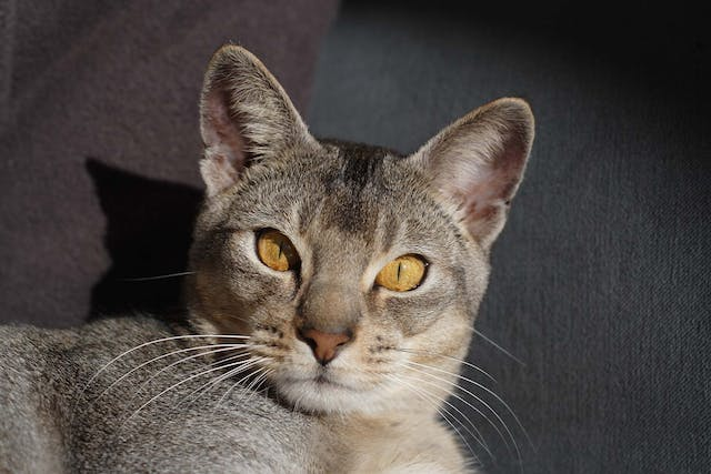 Blood Disorders in Cats - Symptoms, Causes, Diagnosis, Treatment, Recovery, Management, Cost
