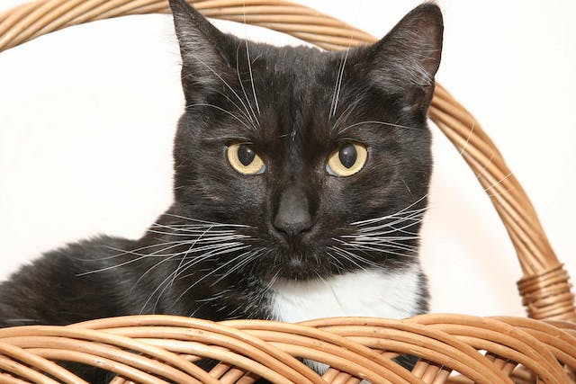 Blood in the Chest in Cats - Symptoms, Causes, Diagnosis, Treatment, Recovery, Management, Cost