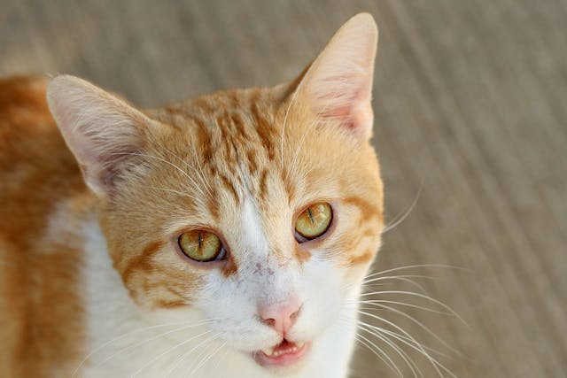 Blood in the Front of the Eye in Cats - Symptoms, Causes, Diagnosis, Treatment, Recovery, Management, Cost