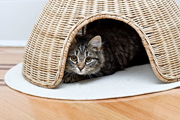 Blood in the Stool in Cats - Symptoms, Causes, Diagnosis, Treatment, Recovery, Management, Cost