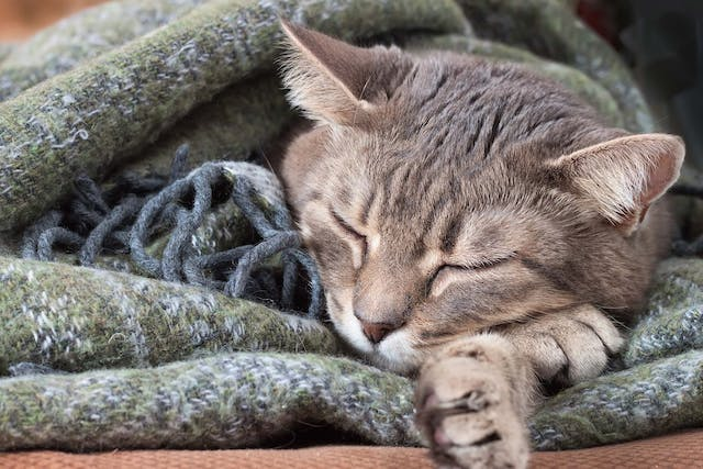 Blood Related Deficiencies in Cats - Symptoms, Causes, Diagnosis, Treatment, Recovery, Management, Cost